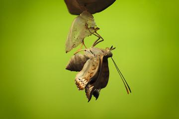 Indonesia, Jember, View of animal in metamorphosis
