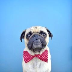 Pug wearing bow tie