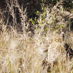 Leopards in bush