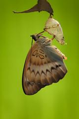 Indonesia, Jember, Close up view of butterfly (Pseudozizeeria maha)