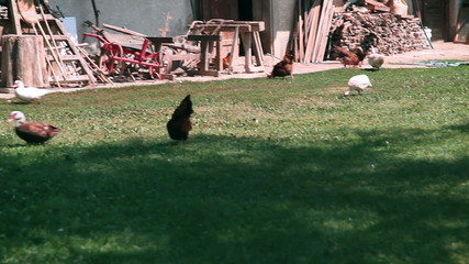 Chicken outside a farm in countryside