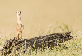 Botswana, Kgalagadi District, Kgalagdi Transfrontier Park, Meerkat standing on wood