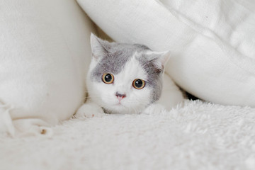 Cat hiding in pillows