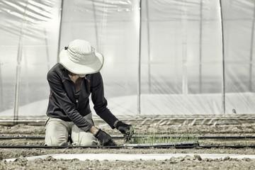 USA, Colorado, Mesa, Palisade, Woman planting seedlings in greenhouse