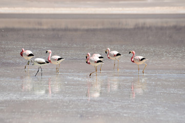 Bolivia, Flamingoes in Laguna Blanca