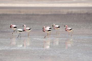 Bolivia, Flamingoes in Laguna Blanca