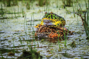 Indonesia, Toads mating in pond