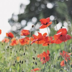Close up of wild red poppies