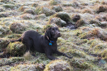 UK, England, West Midlands, Staffordshire, Downs Banks, Chocolate labrador puppy lying down on frosty grass