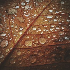 Ireland, County Kerry, Killarney, Close up of autumn leaf with raindrops