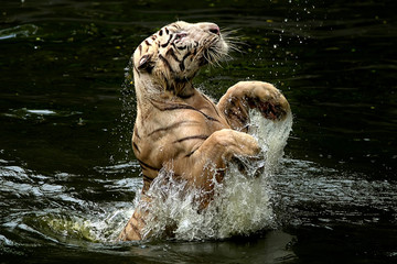 Indonesia, Depok, Tiger jumping from water to catch food