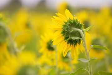 Canada, Ottawa, Field of sunflowers