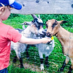 Boy (2-3) feeding goats