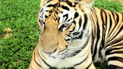 Majestic Tiger, Southeast Asia