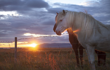 Iceland, Capital Region, Reykjavik, Horses in pasture