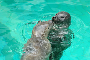 Two Seals kissing