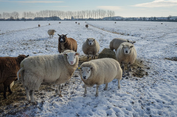 View of sheep on pasture at winter
