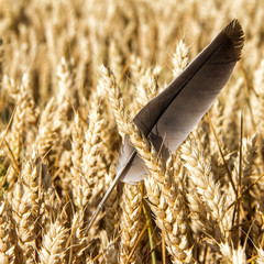 Feather in wheat field