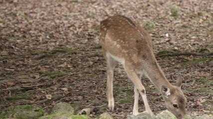 Wild animal deer in captivity in zoo eating food.