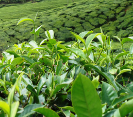 India, Kerala, Idukki, Munnar, Tea plantation