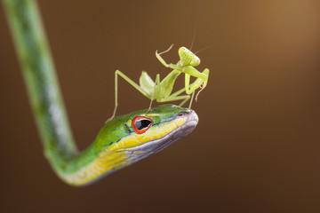 Indonesia, Riau Islands, Batam City, Mantis on snake