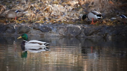 Shot of several ducks swimming or walking with reflection on water surface