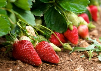 Red fresh strawberries in focal focus