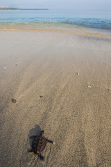 Indonesia, Lombok, Baby turtle crawling to sea