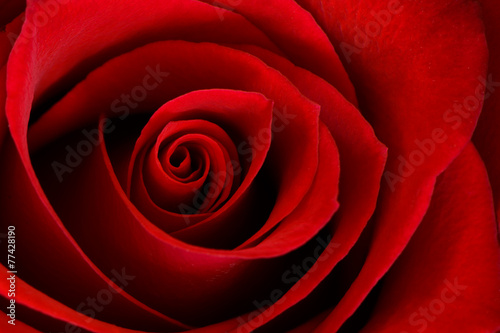 Deurstickers Roses Vibrant Red Rose Close Up Macro - Abstract