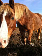 Close-up of New Forest pony