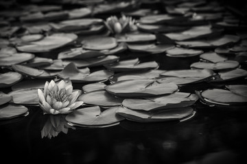 Use, California, San Diego, Lily pads on water