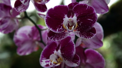 Close up of a beuatiful purple orchid's blossom