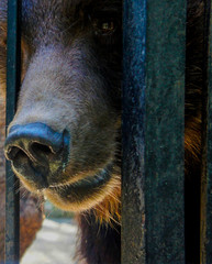 Close up of brown bear in cage