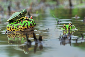 Indonesia, Turtle sitting on toad