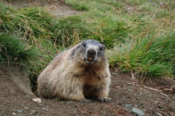 Beaver crawling out of hole