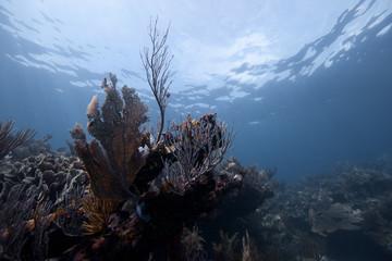 Mexico|, Quintana Roo, Xcalak, Caribbean reef