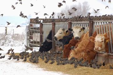 United Kingdom, England, Somerset, Winter starlings and cows