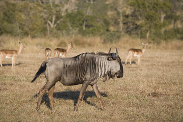 Wildebeest with impala in background