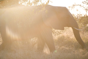 South Africa, Kruger National Park, Elephant in safari