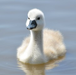 United Kingdom, England, Young mute swan