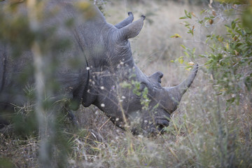 South Africa, Kruger National Park, Rhinoceros in safari
