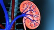 Kidney Excretion