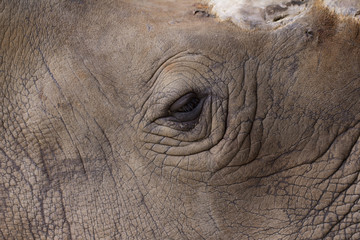 Rhino eye and face, closeup