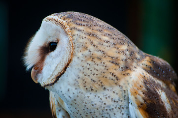 Close-up of Barn Owl
