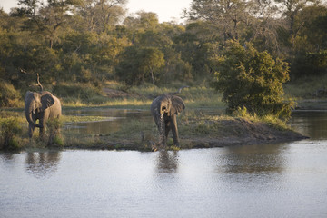South Africa, Two elephants by lake