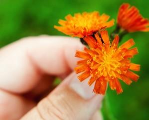 USA, Michigan, Missaukee County, Lake City, Hand holding orange flowers