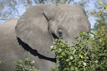Close up shot of african elephant in wild