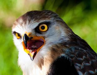 Mpumalanga, South Africa, Black Shouldered Kite