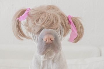 Dog wearing wig with pigtails