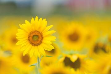 Canada, Ottawa, Sunflower field